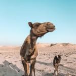 Dromadaire sur la route de la dune blanche